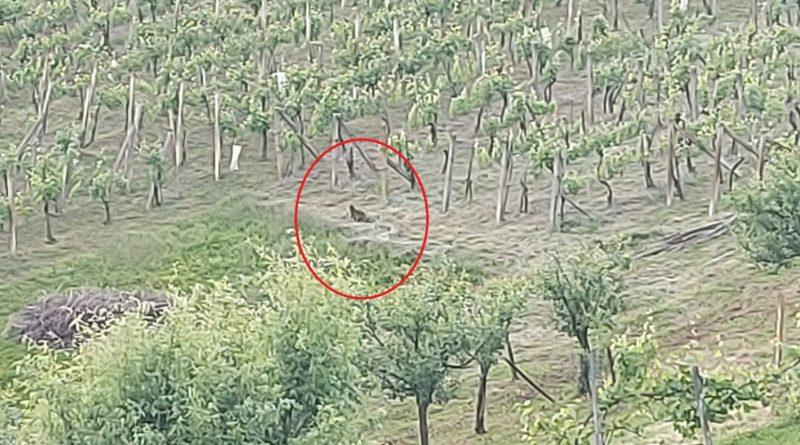 Policijski službenici Lendave dobili su izvještaj o navodnom kretanju pume na području Lendave