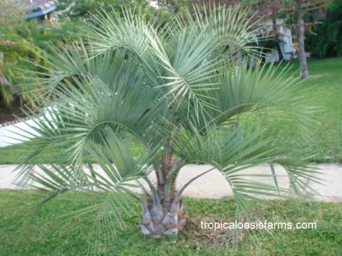 date palm fruit edible