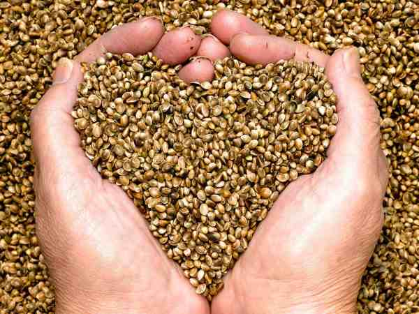 19610083 – hemp seeds held by woman hands, shaping a heart
