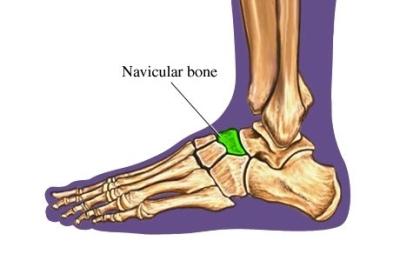 navicular bone