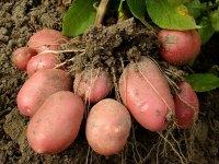 Особенности использования картофеля