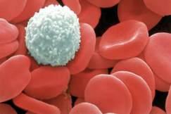 Лейкоциты понижены у взрослого