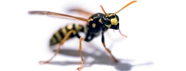 allergiya-na-toksiny-pchel-i-os-