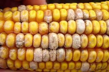початки кукурузы, пораженные фузариумом