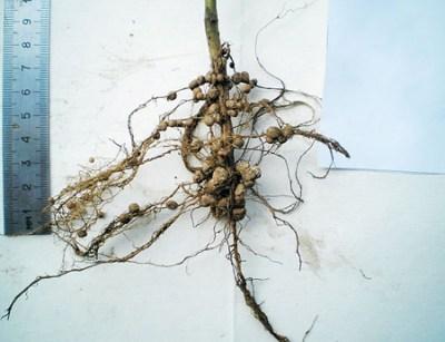 корень бобового растения