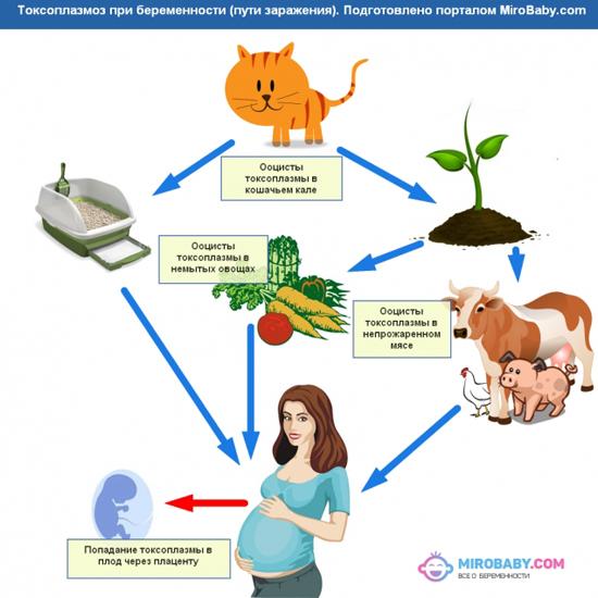 cхема распространения токсоплазм