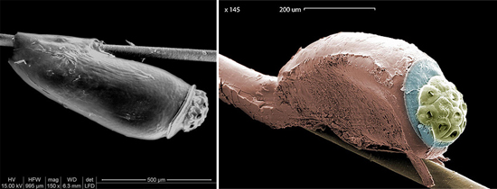 внешний вид гниды (фото)