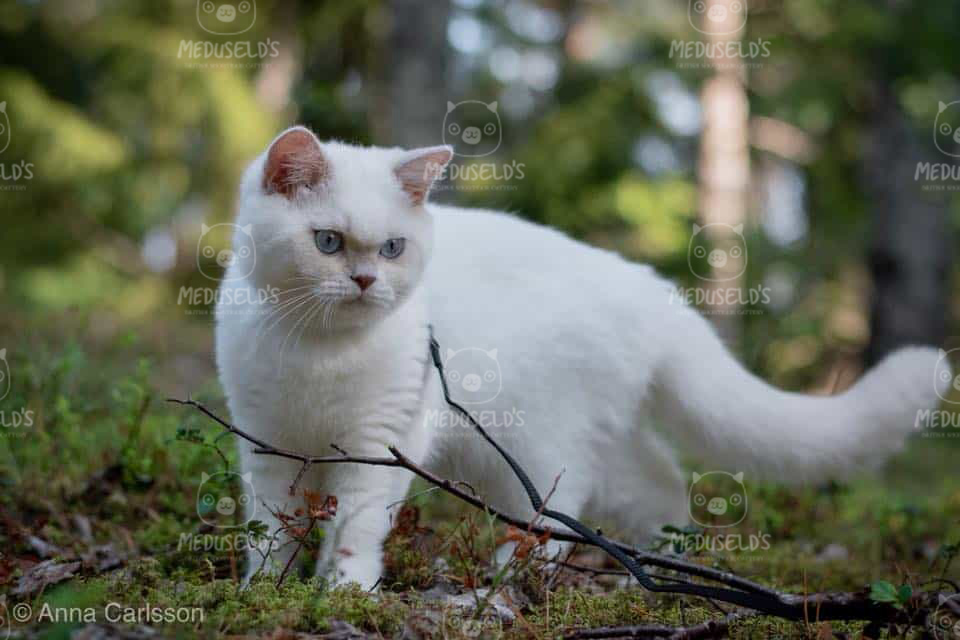 Fawn colourpoint bicolour male British shorthair standning in the woods