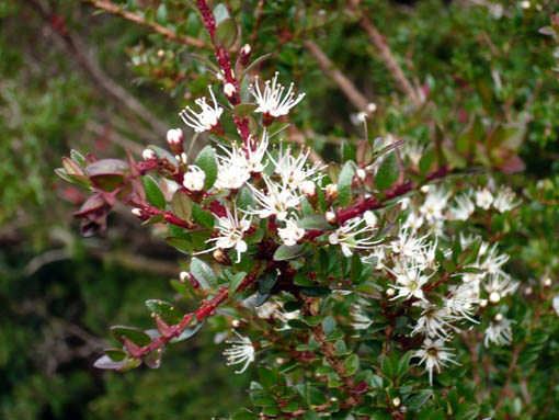 zarte Blüten in Patagonien