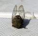 Eine Zikade, fast mausgross