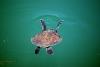 Eine Schildkröte, allerdings aus dem Hafen von Tazacorte, La Palma