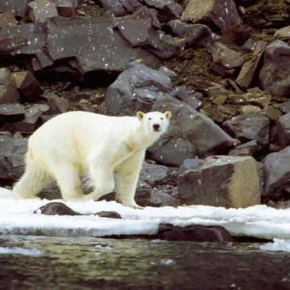 Eisbär in der Arktis (Foto: Frank Blache)