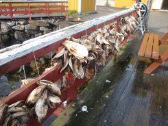 Vissekoppen van kabeljauw in Nusfjord