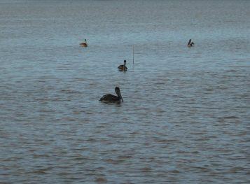 31 Pelikanen