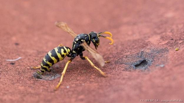 eine Wespe putzt sich auf dem Dach