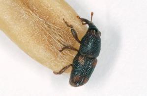 een Sitophilus oryzae op een rijstkorrel