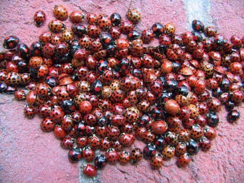 Honderden lieveheersbeestjes in huis, help!