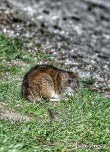 een bruine rat in de tuin die voor overlast zorgt