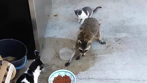 wasbeer overlast valt onder faunabeheer en pakt hier het eten van poezen afpakt