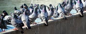 ongediertebestrijding in Rijswijk waar vogelwering voor nodig is