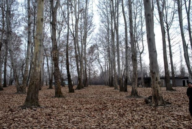 tall trees planted in rows in a park, a kyrgyz man with a toque in the far right of the photo