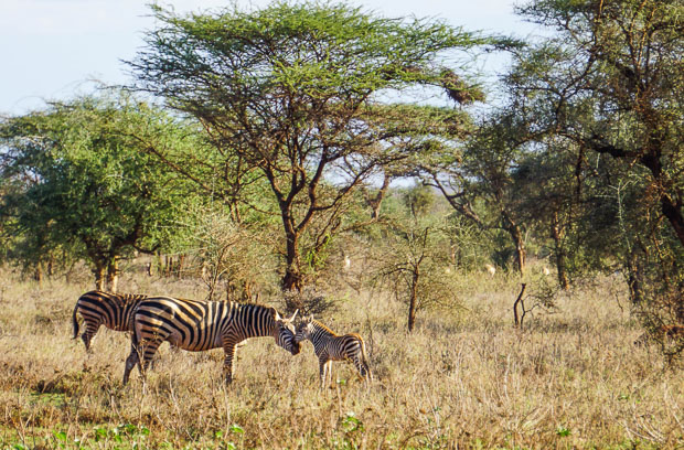 a zebra with its small zebra baby beside trees in southern Kenya