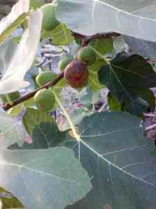 Fig Preserves, Hawaiian Fig Tree