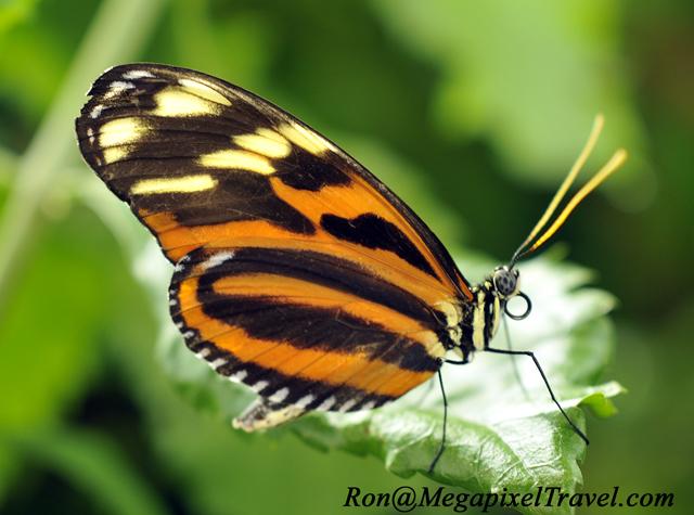_EMG3458-Tiger-Longwing
