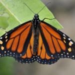 _EMG8235-Monarch