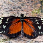 _LND1673-Hecale-Longwing