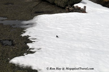 RON_3330-Mt-Marcy-junco