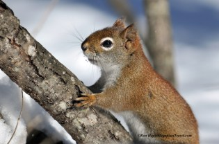 014_9253-red-squirrel