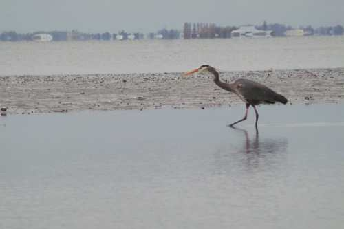 Large Great Blue Heron, at full zoom.