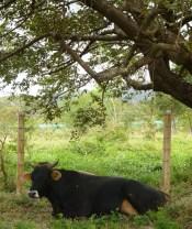 01-Cow