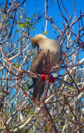 red-footed boobie