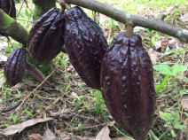 big chocolate pods