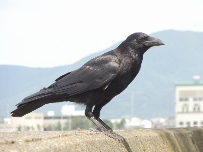 Crow in City