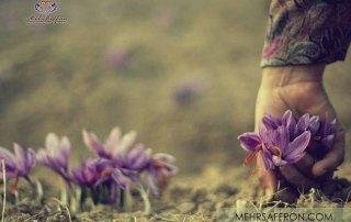 Afghan Saffron Blog1