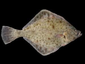 欧洲川鲽鱼,Hans Hillewaert拍摄