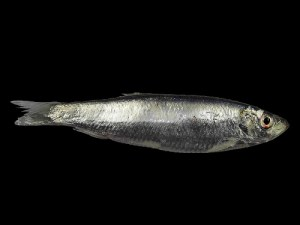 黍鲱,Hans Hillewaert拍摄