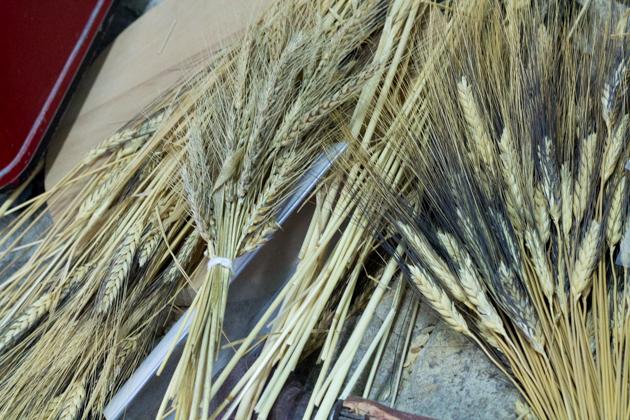 左侧的是石扎奇小麦(Shezaki),中间的是马略卡小麦(Maiorca)