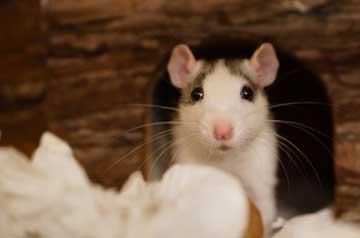 Mäuse-und-Ratten
