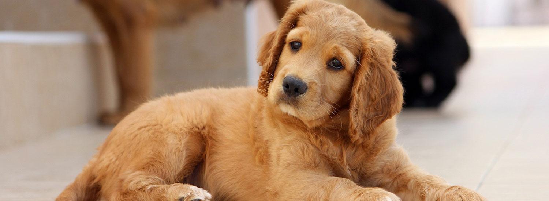 Golden-Retriever—beliebteste-Hunderassen