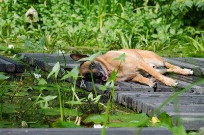 Hund-im-Sommer-Hitze