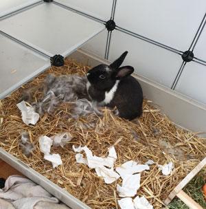 Kaninchen-scheinschwanger