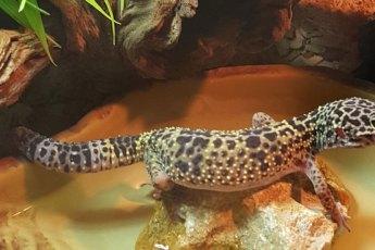 Leopardgecko-FAQ