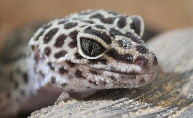 Leopardgecko-Leitfaden