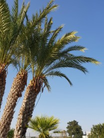 Palmen am Schwimmbad