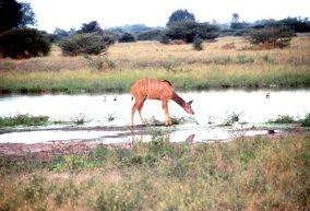 Gazelle am Wasser