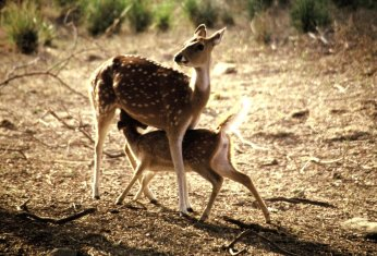 Bambi in Indien